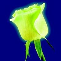 Monceau Fleurs lance la rose phosphorescente